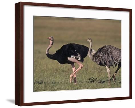 Ostrich Pair (Struthio Camelus Massaicus), Masai Mara Game Reserve, Kenya, Africa-Rob & Ann Simpson-Framed Art Print