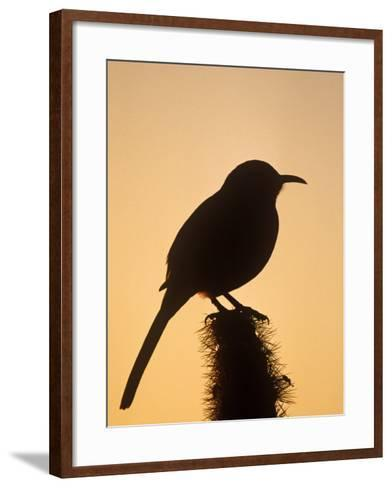 Curve-Billed Thrasher Silhouette on a Cactus, Toxostoma Curvirostre, Southwestern USA-Charles Melton-Framed Art Print