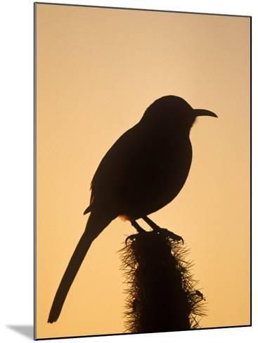 Curve-Billed Thrasher Silhouette on a Cactus, Toxostoma Curvirostre, Southwestern USA-Charles Melton-Mounted Photographic Print