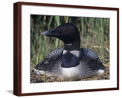 Common Loon on its Nest, Gavia Immer, North America-Gary Meszaros-Framed Art Print