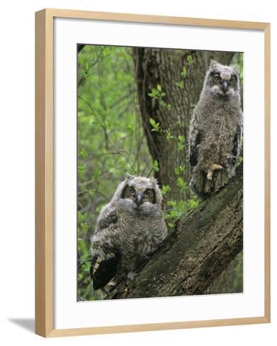Young Great Horned Owls, Bubo Virginianus, . North America-Gary Meszaros-Framed Art Print