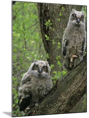 Young Great Horned Owls, Bubo Virginianus, . North America-Gary Meszaros-Mounted Photographic Print
