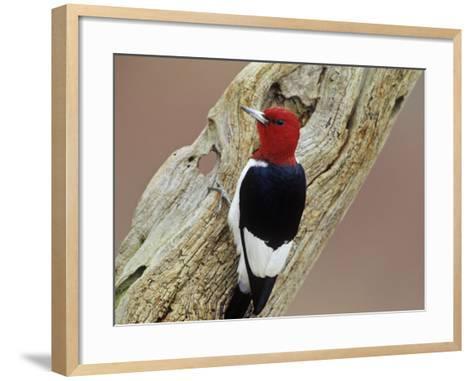 Red-Headed Woodpecker (Melanerpes Erythrocephalus), Eastern USA-Steve Maslowski-Framed Art Print