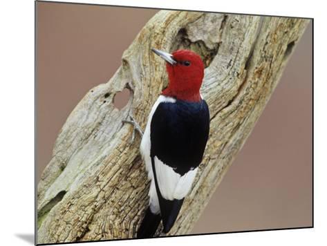 Red-Headed Woodpecker (Melanerpes Erythrocephalus), Eastern USA-Steve Maslowski-Mounted Photographic Print