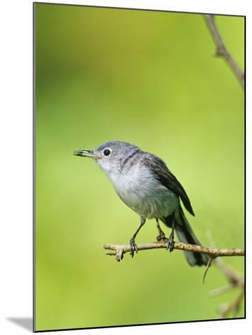 Female Blue-Gray Gnatcatcher with an Insect in its Bill (Polioptila Caerulea), North America-Steve Maslowski-Mounted Photographic Print