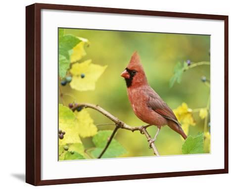 Male Northern Cardinal (Cardinalis Cardinalis) in a Grape (Vitis), North America-Steve Maslowski-Framed Art Print