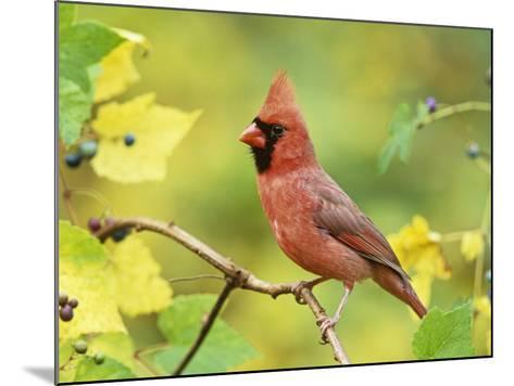 Male Northern Cardinal (Cardinalis Cardinalis) in a Grape (Vitis), North America-Steve Maslowski-Mounted Photographic Print