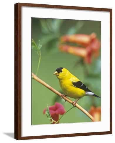 Male American Goldfinch (Carduelis Tristis) on Trumpet Creeper (Campsis Radicans). North America-Steve Maslowski-Framed Art Print