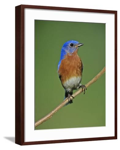 Male Eastern Bluebird, Sialia Sialis, North America. Missouri State Bird-Joe McDonald-Framed Art Print