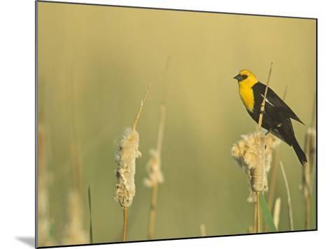 Male Yellow-Headed Blackbird, Xanthocephalus Xanthocephalus, in Cattails, Typha, North America-John & Barbara Gerlach-Mounted Photographic Print