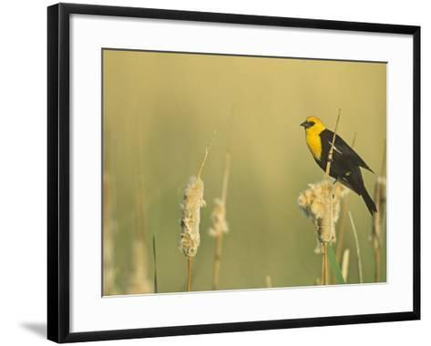 Male Yellow-Headed Blackbird, Xanthocephalus Xanthocephalus, in Cattails, Typha, North America-John & Barbara Gerlach-Framed Art Print