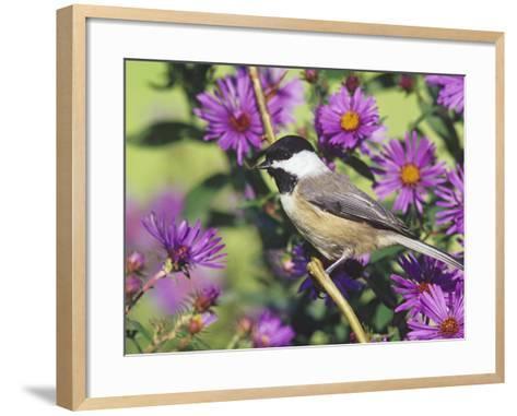 Carolina Chickadee (Poecile Carolinensis) in New England Asters, North America-Steve Maslowski-Framed Art Print