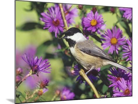 Carolina Chickadee (Poecile Carolinensis) in New England Asters, North America-Steve Maslowski-Mounted Photographic Print