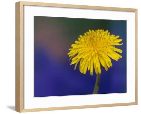 Dandelion Flower, Taraxacum Officinale-Adam Jones-Framed Art Print