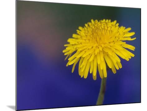 Dandelion Flower, Taraxacum Officinale-Adam Jones-Mounted Photographic Print