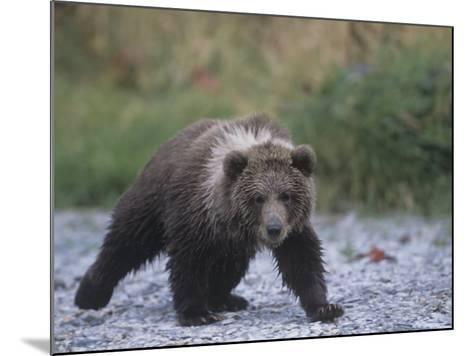 Brown Bear Cub (Ursus Arctos), Kodiak Island, Alaska, USA-Tom Walker-Mounted Photographic Print