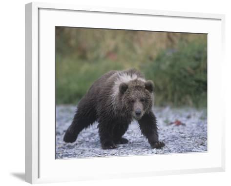 Brown Bear Cub (Ursus Arctos), Kodiak Island, Alaska, USA-Tom Walker-Framed Art Print