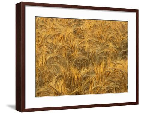 Early Morning Light on a Wheat Field Ready for Harvesting, Triticum Aestivum-Adam Jones-Framed Art Print