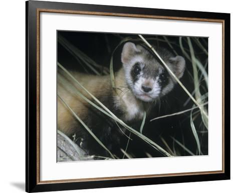 Black-Footed Ferret (Mustela Nigripes), a Highly Endangered Species of North American Mammal-Ken Lucas-Framed Art Print