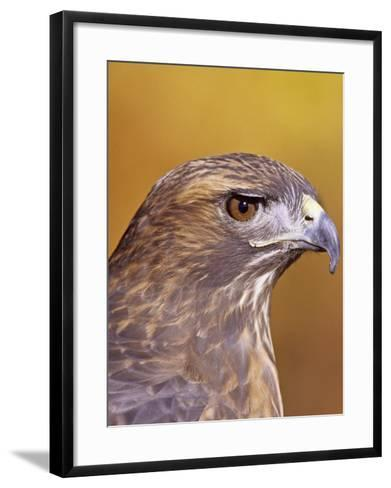 Red-Tailed Hawk, Buteo Jamaicensis, Head Showing its Eye and Bill, North America-Jack Michanowski-Framed Art Print