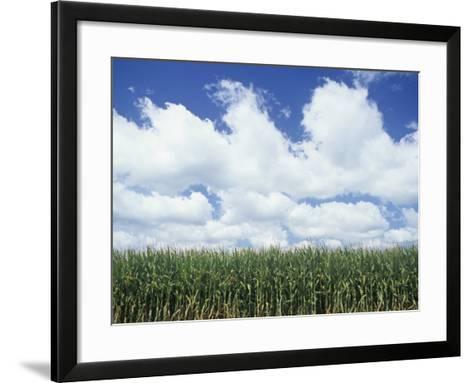 Corn Crop under a Blue Sky with Fair-Weather Cumulus Clouds, Zea Mays-Adam Jones-Framed Art Print