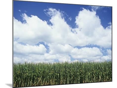 Corn Crop under a Blue Sky with Fair-Weather Cumulus Clouds, Zea Mays-Adam Jones-Mounted Photographic Print