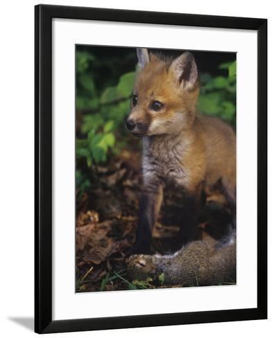 Red Fox Pup (Vulpes Vulpes) Next to Gray Squirrel Prey (Sciurus Carolinensis), North America-Steve Maslowski-Framed Art Print