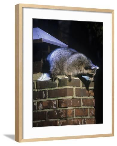 Raccoon (Procyon Lotor) Exploring a Chimney on a House, North America-Steve Maslowski-Framed Art Print