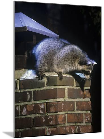 Raccoon (Procyon Lotor) Exploring a Chimney on a House, North America-Steve Maslowski-Mounted Photographic Print
