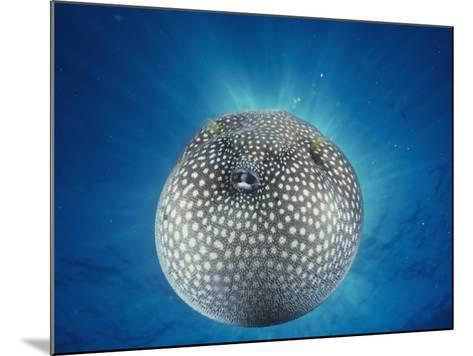 Spotted Pufferfish Inflated for Defense-David Fleetham-Mounted Photographic Print