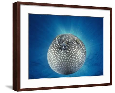 Spotted Pufferfish Inflated for Defense-David Fleetham-Framed Art Print
