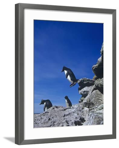 A Rockhopper Penguin Hopping Rocks, Eudyptes Chrysocome, Falkland Islands-Joe McDonald-Framed Art Print