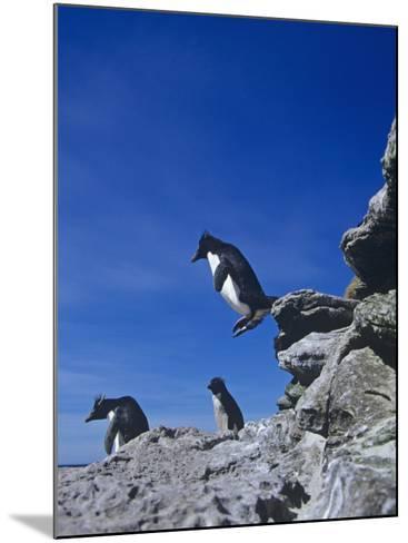 A Rockhopper Penguin Hopping Rocks, Eudyptes Chrysocome, Falkland Islands-Joe McDonald-Mounted Photographic Print