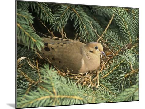 Mourning Dove, Zenaida Macroura, on its Nest in a Blue Spruce Tree, Picea Pungens, North America-Adam Jones-Mounted Photographic Print