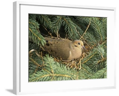 Mourning Dove, Zenaida Macroura, on its Nest in a Blue Spruce Tree, Picea Pungens, North America-Adam Jones-Framed Art Print