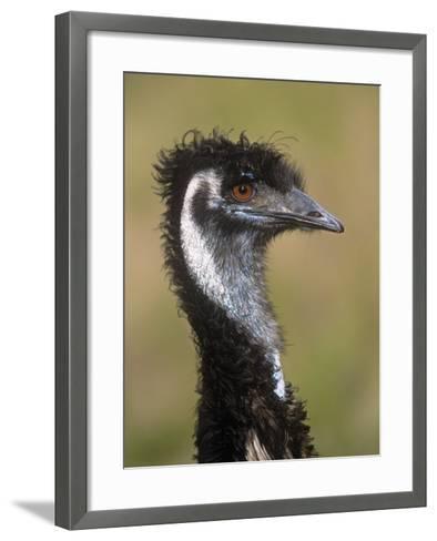 Emu, Dromaius Novaehollandiae, Australia-Adam Jones-Framed Art Print