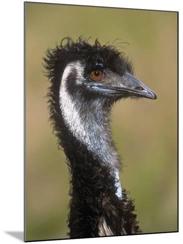 Emu, Dromaius Novaehollandiae, Australia-Adam Jones-Mounted Photographic Print