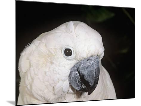 Umbrella or White-Crested Cockatoo Head, Cacatua Alba, Polynesia-Joe McDonald-Mounted Photographic Print