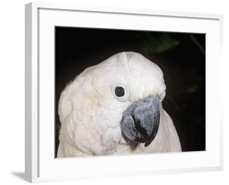 Umbrella or White-Crested Cockatoo Head, Cacatua Alba, Polynesia-Joe McDonald-Framed Art Print