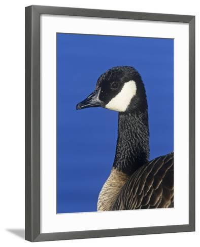 Lesser Canada Goose Head, Branta Canadensis Parvipes, Alaska, USA-Arthur Morris-Framed Art Print