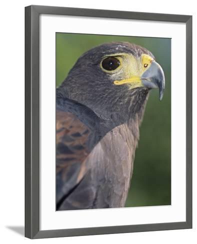 Harris Hawk Head, Parabuteo Unicinctus, Southwestern North America-Joe McDonald-Framed Art Print