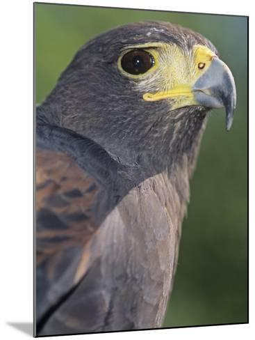 Harris Hawk Head, Parabuteo Unicinctus, Southwestern North America-Joe McDonald-Mounted Photographic Print