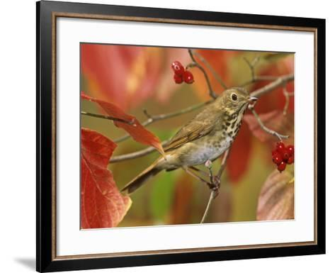 Hermit Thrush (Catharus Guttatus) in a Fall Dogwood Tree, the State Bird of Vermont, USA-Steve Maslowski-Framed Art Print