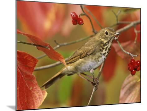 Hermit Thrush (Catharus Guttatus) in a Fall Dogwood Tree, the State Bird of Vermont, USA-Steve Maslowski-Mounted Photographic Print