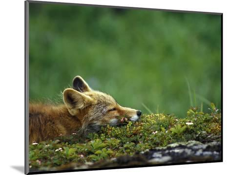 Red Fox-Chris Linder-Mounted Photographic Print
