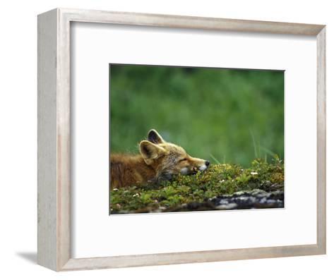Red Fox-Chris Linder-Framed Art Print