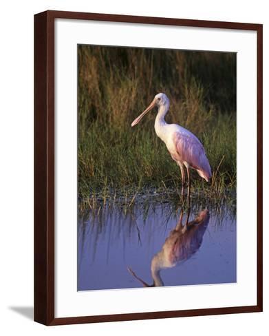Roseate Spoonbill with its Reflection in the Marsh Pond, Ajaia Ajaja, Florida, USA-Arthur Morris-Framed Art Print
