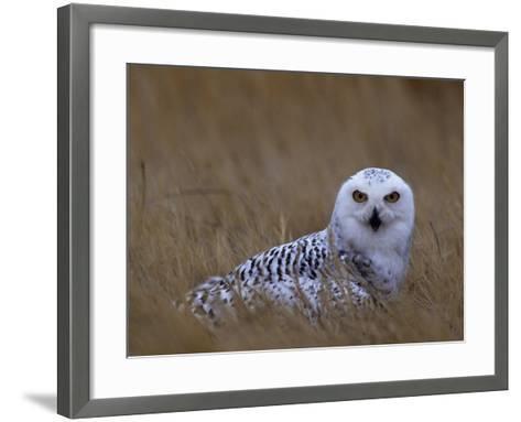 Female Snowy Owl, Nyctea Scandiaca, Standing in Dried Grass, North America-Beth Davidow-Framed Art Print