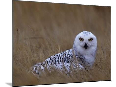 Female Snowy Owl, Nyctea Scandiaca, Standing in Dried Grass, North America-Beth Davidow-Mounted Photographic Print