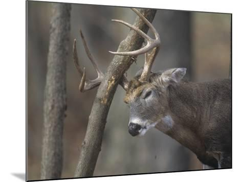 White-Tailed Deer Buck Rubbing its Antlers on a Tree (Odocoileus Virginianus), North America-Tom Edwards-Mounted Photographic Print